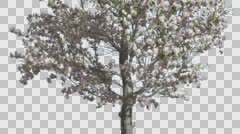 Apple Thin Tree With Pink Flowers Spring Cut of Chroma Key Tree on Alfa Channel Stock Footage