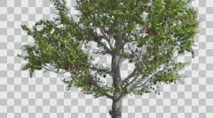 Apple Thin Tree With Red Fruits Cut of Chroma Key Tree on Alfa Channel Tree is Stock Footage