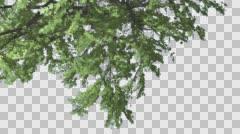 Plitvice Maple Tree Cut of Chroma Key Tree on Alfa Channel Turned Image Crown - stock footage