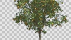 Orange Thin Tree With Fruits Cut of Chroma Key Tree on Alfa Channel Tree is Stock Footage