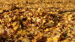 Yellow leaves fall to the ground in the autumn forest - stock footage
