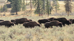 Herd of wild buffalo moving walking dolly tracking shot Stock Footage