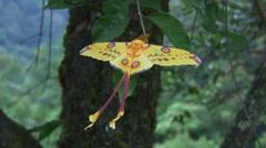 Comet Moth hang on twig 2 Stock Footage