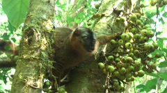 Common Brown Lemur feeding on fig fruit 1 Stock Footage
