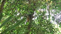 Diademed Sifaka climb in tree 1 Stock Footage