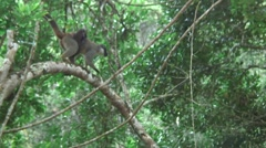 Common Brown Lemur move in tree with baby on back 1 Stock Footage