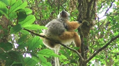 Diademed Sifaka female sit in tree Stock Footage