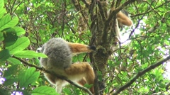 Diademed Sifaka mother and baby move in tree Stock Footage