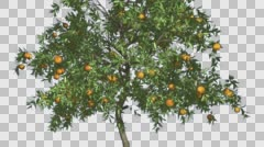 Orange Thin Tree With Fruits Cut of Chroma Key Tree on Alfa Channel Tree is Stock Footage