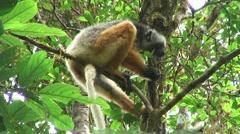 Diademed Sifaka female feed on leaf 1 Stock Footage
