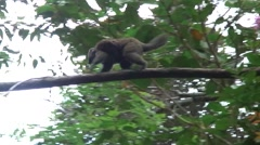 Eastern Lesser Bamboo Lemur female climb in tree with baby on back Stock Footage