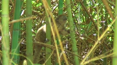Eastern Lesser Bamboo Lemur looking around in bush 1 Stock Footage