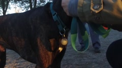 A handsome dog being muzzled at a dog park Stock Footage