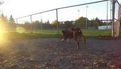 Dog chasing ball in a dog park Stock Footage