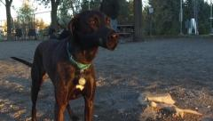 Black hound dog at a dog park wearing a muzzle - aggressive puppy Stock Footage