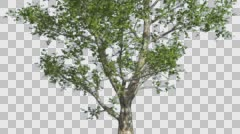 London Plane Tree Cut of Chroma Key Tree on Alfa Channel Tree is Swaying at the - stock footage