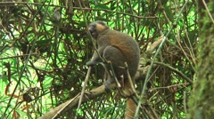 Stock Video Footage of Golden Bamboo Lemur chew on bamboo 3