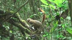 Golden Bamboo Lemur climbing down Stock Footage