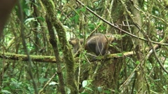 Golden Bamboo Lemur move in tree 1 Stock Footage