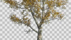 London Plane Tree Cut of Chroma Key Tree on Alfa Channel Tree is Swaying at the Stock Footage