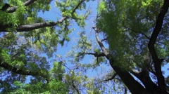 Movement to the crown of tall trees Stock Footage