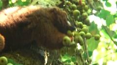 Red-bellied Lemur feeding on fig-fruit 1 Stock Footage