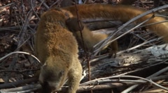 Red-fronted Brown Lemur looking around on ground with baby on stomach Stock Footage