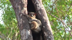 Red-tailed Sportive Lemur clinging to tree outside nest Stock Footage