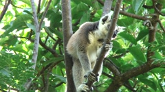 Ring-tailed Lemur in tree looking around up 1 Stock Footage