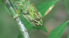Short-horned Chameleon chewing on insect 1 Stock Footage