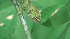 Short-horned Chameleon chewing on insect 2 Stock Footage