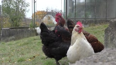 Cock and hens in a yard Stock Footage