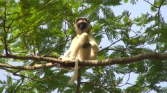 Verreaux's Sifaka in tree sound varning call 2 Stock Footage