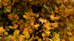 Landscape of a tulip poplar tree in autumn. Fall background Stock Footage