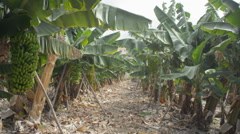 Growing  bunch of bananas on plantation Stock Footage