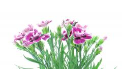 Time-lapse of opening pink (Dianthus) flowers Stock Footage