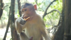 monkey in the forest eating cookies - stock footage
