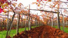 Trellis in Carst region with terra rosa soil - tilt up Stock Footage