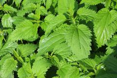 Stinging nettle (Urtica dioica) in summer Stock Photos