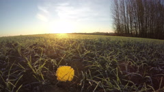 First  frost with yellow  leaf on wheat  and morning sunlight. Timelapse 4K Stock Footage