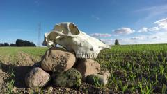 Stock Video Footage of Horse skull cranium on stones in field. Memory concept, timelapse 4k
