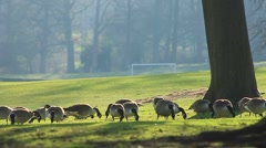 Backlit geese feed in park on a sunny winter day Stock Footage
