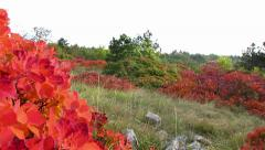 Red smoke tree in Carst region - autumn time - pan left Stock Footage