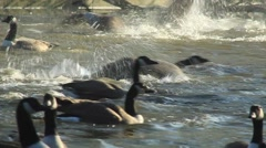 Winter geese fly and splash on a lake's surface Stock Footage