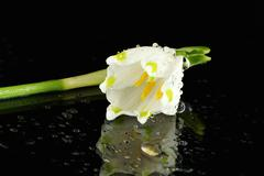 Wet Snowdrop Blossom - stock photo