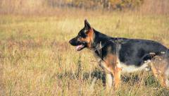 German shepherd dog playing outdoor. Stock Footage
