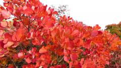Red smoke tree in Carst region - pan left Stock Footage