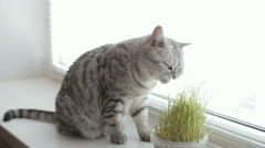 Adult young gray cat sitting and eating fresh green grass on white background Stock Footage