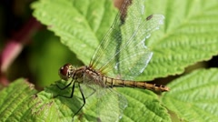 Female Common Darter. Stock Footage