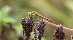 Female Common Darter Flying off.. Stock Footage